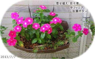 2013/7/7、一ヶ月後の寄せ植え(日々草/サフィニア/マツバボタン)