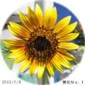 2013/7/8、ひまわりNo.1