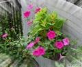 2013/7/26、サフィニアと寄せ植えたケイトウ咲いたー