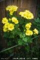 2013/11/6、2年目挿し芽里子菊 その7 大輪黄色スプレー菊