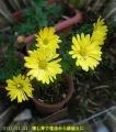 2013/11/11、夏越し失敗した掘り上げ古株から挿し芽で復活したレモンイエロースプーン菊 鉢植えにして2年目開花