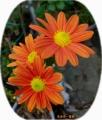 朱赤系(煉瓦色)シンプルな一重菊