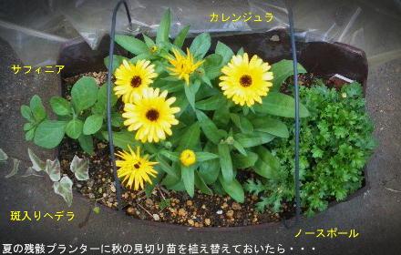 2013/12/6、秋の見切り新人 寄せ植えその1