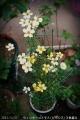 2013/12/6、ウィンターコスモス 3色寄せ植え