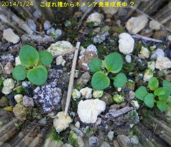 2014/1/24、宿根ネメシアのこぼれ種 発芽成長中?