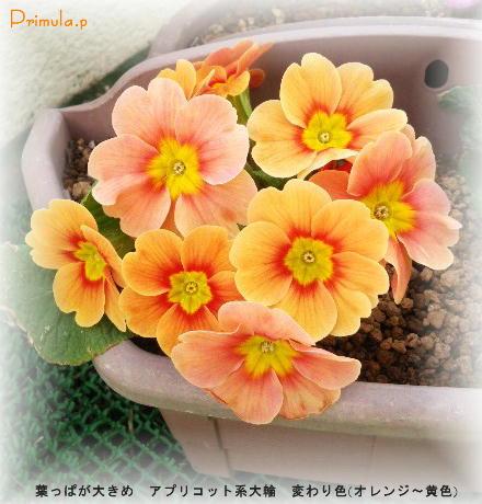 プリムラ・ポリアンサ(?)アプリコット系イエロ〜オレンジ変わり色