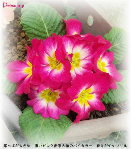 プリムラ・ポリアンサ(ジュリアン?) 濃マゼンダ赤系バイカラー フリル気味花弁