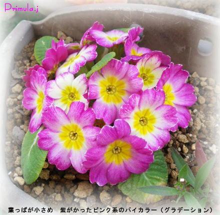 プリムラ・ジュリアン ピンク系バイカラー(グラデーション)