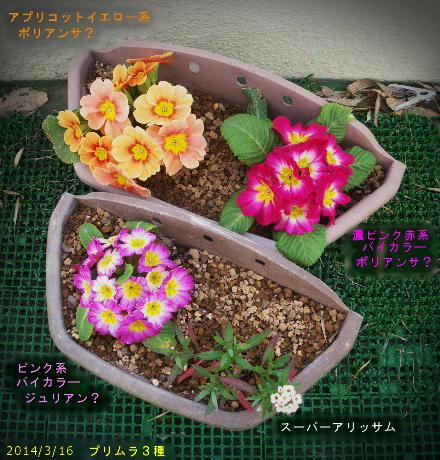 2014/3/16、プリムラ3種 花の大きさ比較