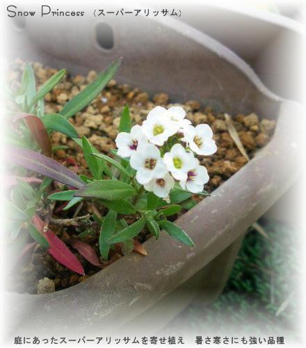 手ごろな冬越しスーパーアリッサム(スノープリンセス)があったから寄せ植えた 暑さにも寒さにも強い