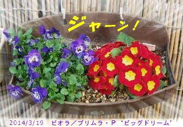 2014/3/19、ビオラ&プリムラ・ポリアンサ'ビッグドリーム'寄せ植え順調もりもり