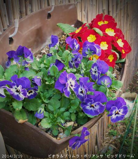 2014/3/19、秋の見切り苗寄せ植え ビオラ&プリムラ'ビッグドリーム'その後