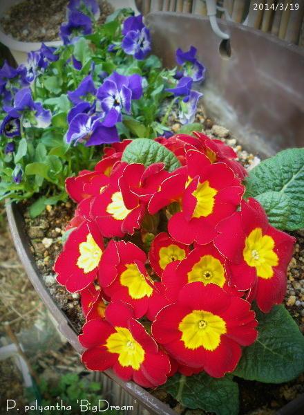 2014/3/19、プリムラ・ポリアンサ'ビッグドリーム' 確かにりっぱな大きな花