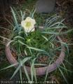 2014/3/23、アネモネ・デカン白花&原種チューリップ・レディジェーン