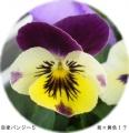 開花5号 なんと耳紫×黄色 かわい〜