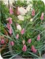 2014/4/6、原種チューリップ『レディジェーン』&アネモネ・デカンホワイト
