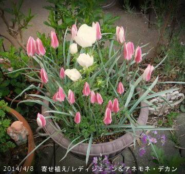 2014/4/8、原種チューリップ『レディジェーン』&アネモネ・デカンホワイト(朝はすぼんでいる)