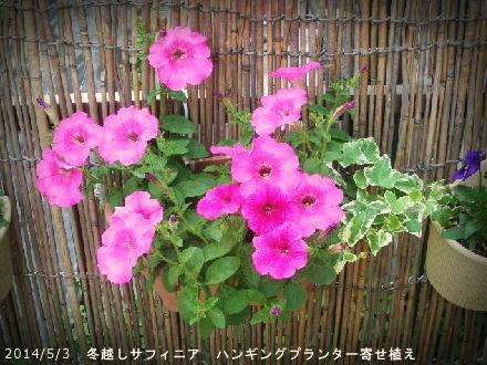 2014/5/3、冬越しサフィニア寄せ植え
