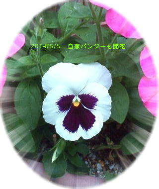 2014/5/5、自家採種パンジー開花 サフィニアのプランターにこっそり寄せ植えw