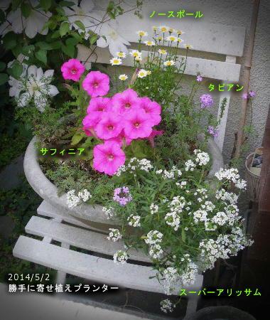 2014/5/2、勝手に寄せ植え サフィニア/タピアン/ノースポール/スーパーアリッサム