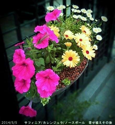 2014/5/5、冬越しサフィニア 見切り苗との寄せ植えその後