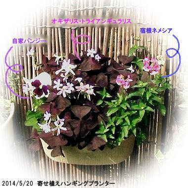 2014/5/20、寄せ植え:オキザリス・トライアンギュラリス/パンジー(白×青紫)/宿根ネメシア