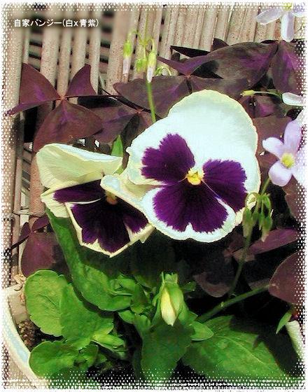 自家採種蒔きパンジー(白×青紫)