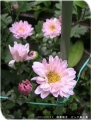 2014/6/11、四季咲き菊 ピンク系