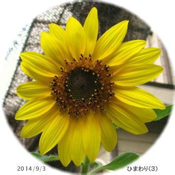 2014/9/3、自家採種ひまわり(3) 鉢