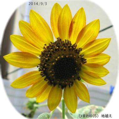 2014/9/3、自家採種ひまわり(5) 地蒔き