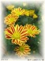 星の子(二色咲きスプレー菊)