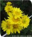 2014/10/31、お日様みたいな黄色一重菊