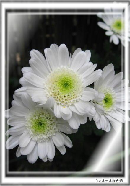 2014/11/9、一押しの花嫁さんと名付けた白アネモネ咲き菊
