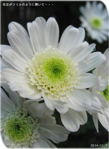 白アネモネ咲き菊 開くにつれ花芯がフリルのように盛り上がってくるのがかわぃぃ♪