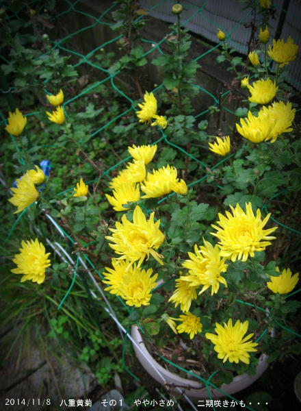 2014/11/8、挿し芽里子3年目 八重黄菊 その1 すっきり黄色 二期咲きかも