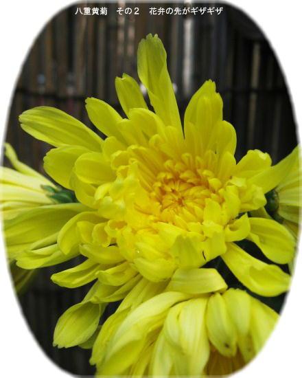 八重黄菊 その2 花弁の先がギザギザしてる
