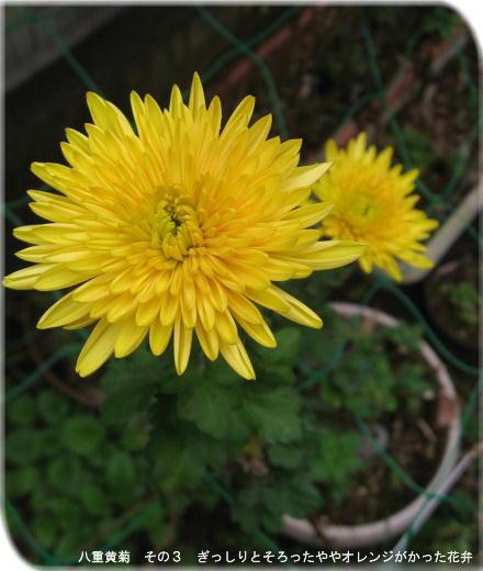 八重黄菊 その3 ぎっしりそろった花弁