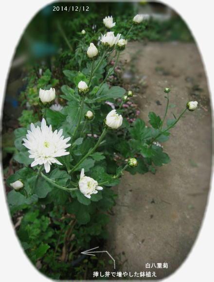 2014/12/12、挿し芽里子菊から再度挿し芽で増やした鉢植え 八重白菊
