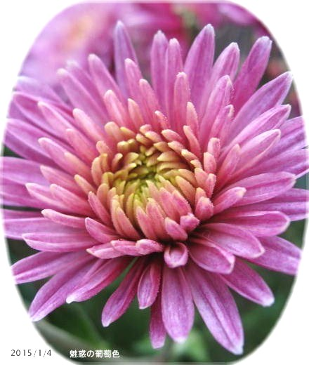 赤紫系で中心の花弁先が黄色い・・・不思議色 魅惑の葡萄色