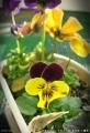 2015/3/6、自家採種蒔きパンジー その3 紫耳付き×黄色