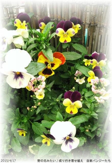 2015/4/17、成り行き寄せ植え 野の花風?