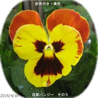 2015/4/16、自家採種蒔きパンジー その5