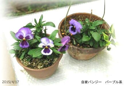 2015/4/17、自家採種蒔きパンジー パープル系 2鉢