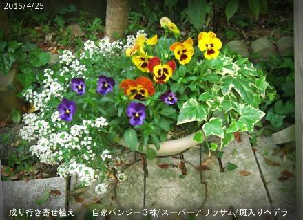 2015/4/25、自家採種ばら蒔きパンジー 成り行き寄せ植えモリモリ♪