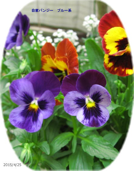 2015/4/25、自家採種蒔きパンジー 青紫系