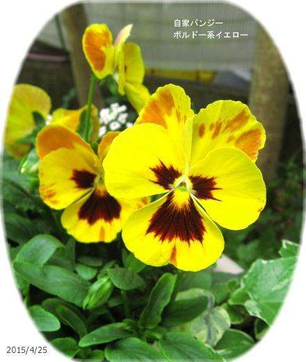 2015/4/25、ボルドー系遺伝子の黄色変化の子孫