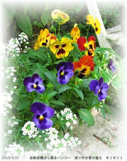 2015/4/25、成り行き寄せ植え 自家パンジー3種