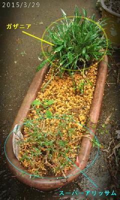 2015/3/29、大きなプランターに植え替えた ガザニアとスーパーアリッサム