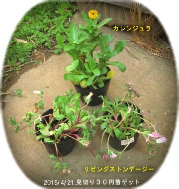 2015/4/22、見切り30円苗ゲット カレンジュラと リビングストンデージー2個