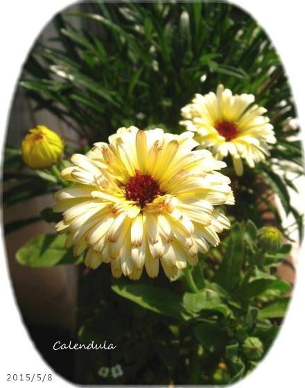 2015/5/8、カレンジュラ 黄色・・・ちょっと茶縁?